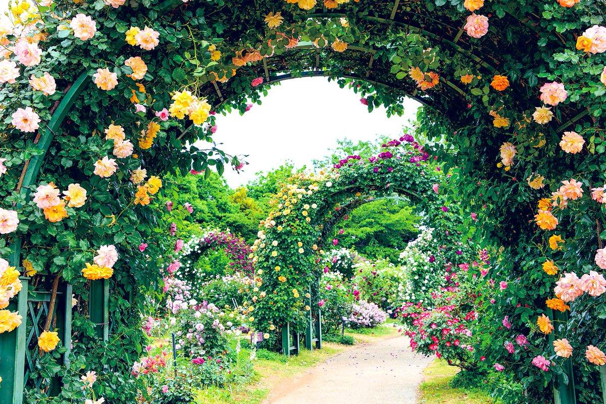 test ツイッターメディア - 公式 @keisei_rose  写真提供:京成バラ園様 #シティライフ #フリーペーパー #千葉県 #八千代市 #京成バラ園 #rose #紫のバラ #大温室 #フォトジェニック #らぶちば #景観 #chiba #風景 #Landscape #景色 #view #ちば #CHIBA https://t.co/KnthLv9JLN