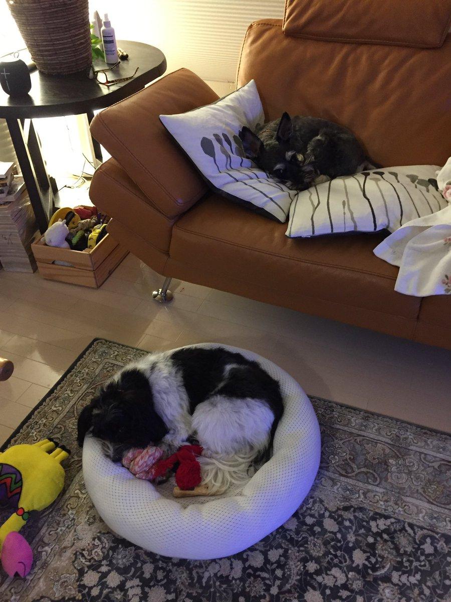 test ツイッターメディア - ベス姉のサークルベッドに憧れて、、、保育園でキンタローのベッド横取りしました😭 キンタロー君、ごめんね😣 #ミニチュアシュナウザー #犬好きさんとつながりたい https://t.co/IKp0sMvsHn