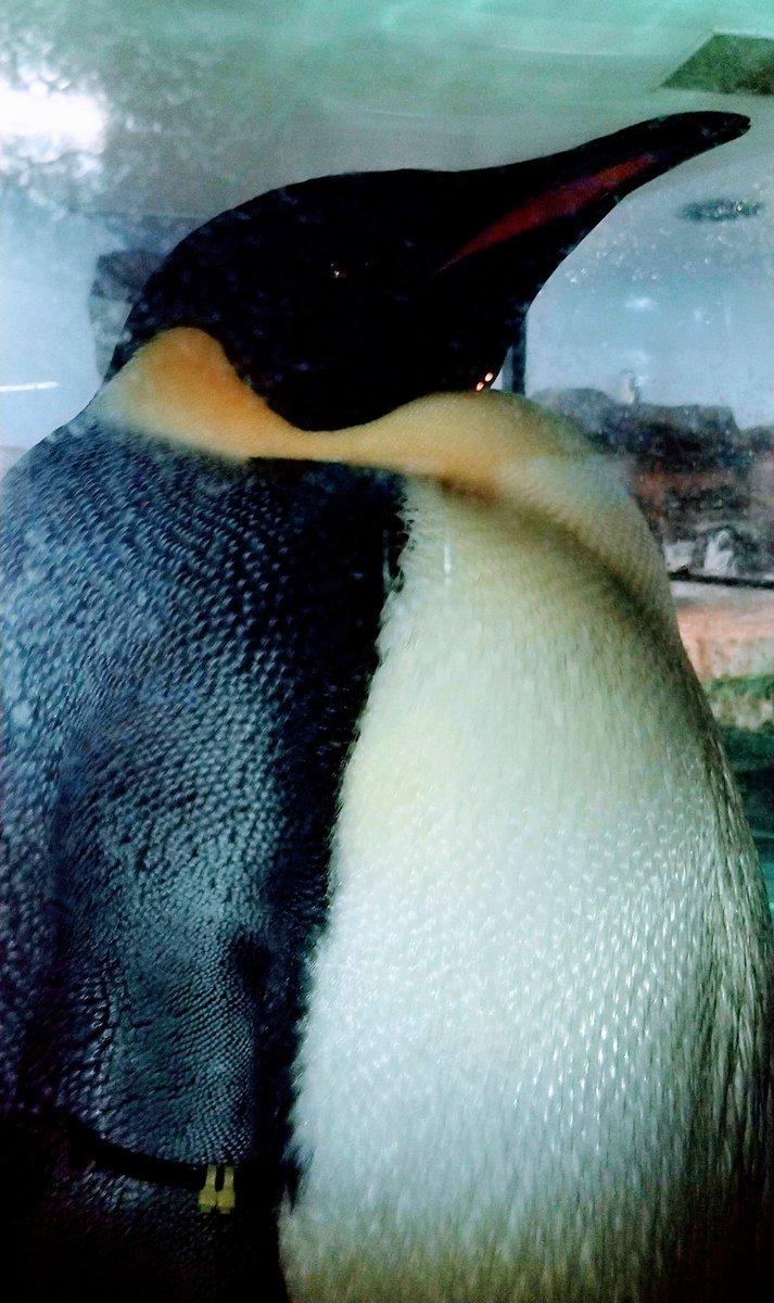 test ツイッターメディア - えんぺさん🐧えんぺさん🐧だらけです💦💦つい見とれてしまいました。近くに来てくれて嬉しい🎵😍🎵 #アドベンチャーワールド #エンペラーペンギン https://t.co/4Ss5zDEb3a