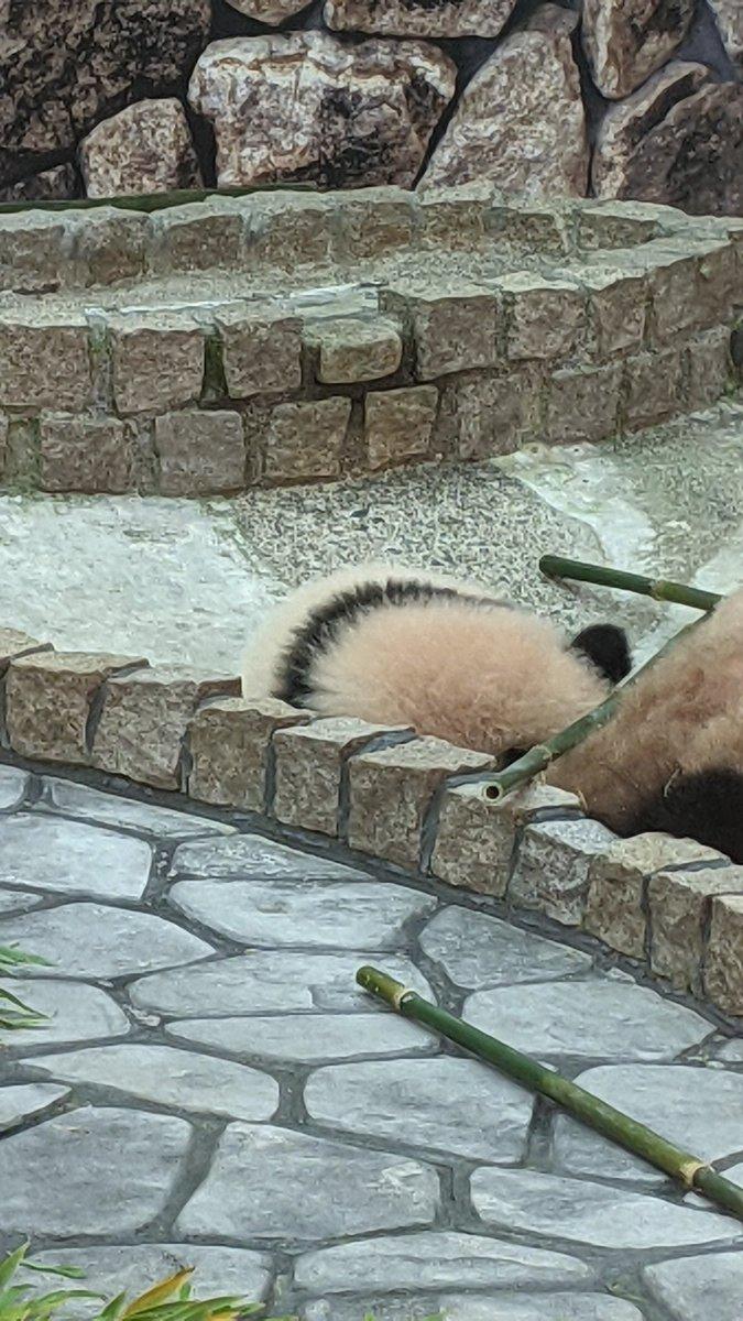 test ツイッターメディア - 【楓浜】  去年の秋に生まれたジャイアントパンダの赤ちゃん。母子ともにお昼寝中で動いてるところは見られませんでした。 でも後ろ姿は丸くて可愛いです😊  #おはのこレンジャー30514mk  #アドベンチャーワールド  #楓浜 https://t.co/k1r4OddPmA