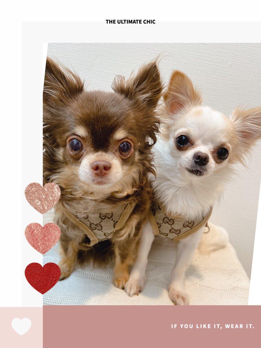 test ツイッターメディア - おはよう〜🎀  おひさまが出てきて 気持ち良くなってきたょ  昨日の朝はご機嫌斜めだったアイコさんᜊﬞﬞ 𓈒𓏸  今日は朝からニコニコ💓  大好きなみんな❤️楽しい 一日を過ごしてね♪  #チワワ #ロングコートチワワ #ワンコとの幸せな毎日 #犬と生きる #シニア犬 #犬好きさんと繋がりたい #Chihuahua https://t.co/91Ft6ag6Zl