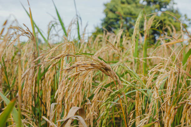 test Twitter Media - #Magnaporthe #grisea complex can likewise taint other agronomically significant #cereals including #wheat, #rye, #grain, and #pearl #millet causing #infections called impact #illness or scourge #sickness. https://t.co/faWIxRddzC https://t.co/KO5qRUVcMI
