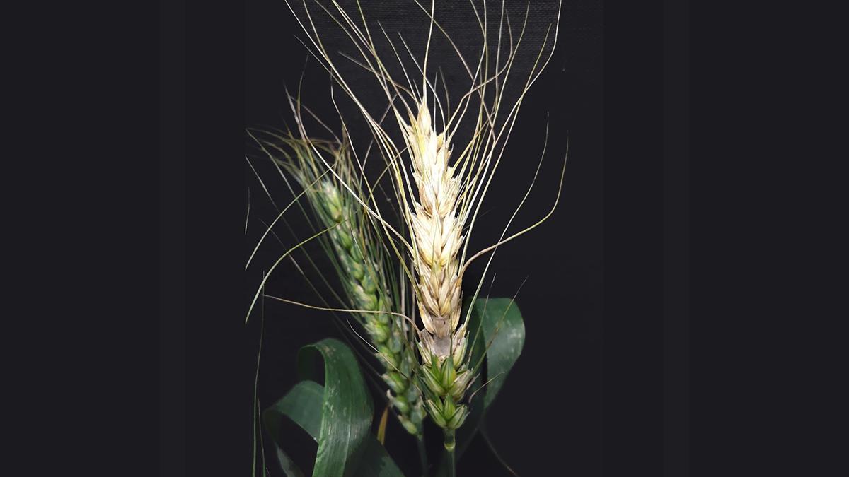 test Twitter Media - Tracking a global threat to wheat @BSPPjournals @unlp @RWTH  📢Wheat Blast @BSPPjournals highlight #blog out now   #wheat #Blast #seed #planthealth #plantpathology #plantdisease @wileyplantsci   https://t.co/vviT363FGU https://t.co/bneUA2BEOe