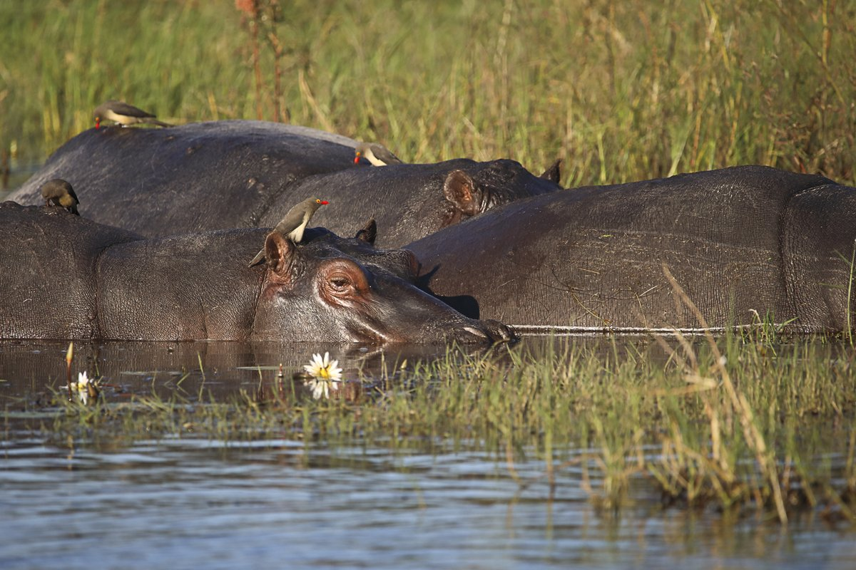 Sir David Attenborough reveals the life of the #hippopotamus as never seen before - Hippos: Africa's River Giants is available now on @BBCiPlayer https://t.co/q083uNNVia  @NhfuBots https://t.co/54ezzHoCjD