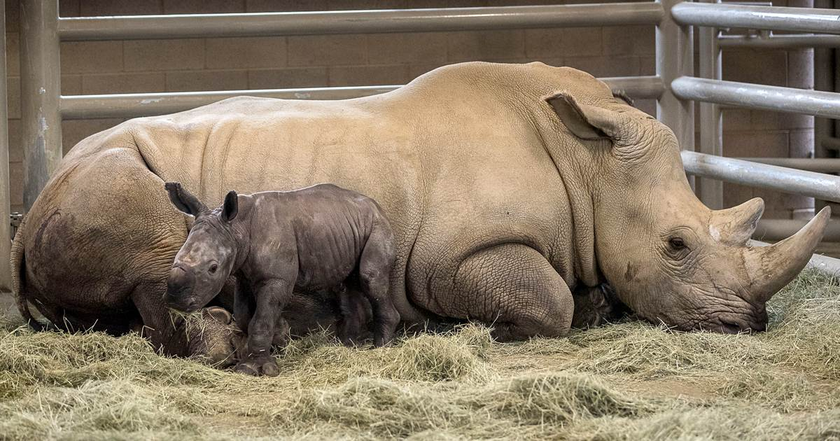 Rhino born at San Diego zoo, marking key step in protecting threatened species