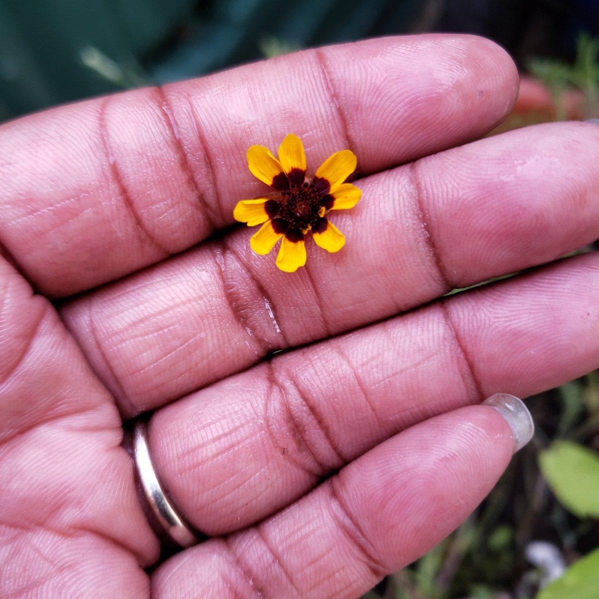 The first flower from my butterfly garden seeds.....it's the little things #butterflygarden #flowers #stilllearning https://t.co/qqhW77hpjk