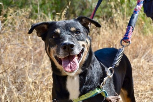 🥰GORDO😍 #AdoptMe  https://t.co/aGZimcgkz3  #adoptdogs #adoptdontbuy #dogsoftwitter #dogsarefamily https://t.co/W8qE6N17pC