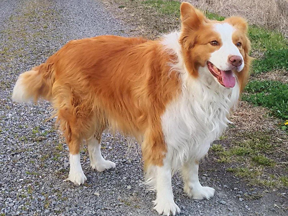 アンニュイーヌウィンダム デスエンカウント マヨイーヌ デスエンカウント草 紀州犬に関連した画像-04