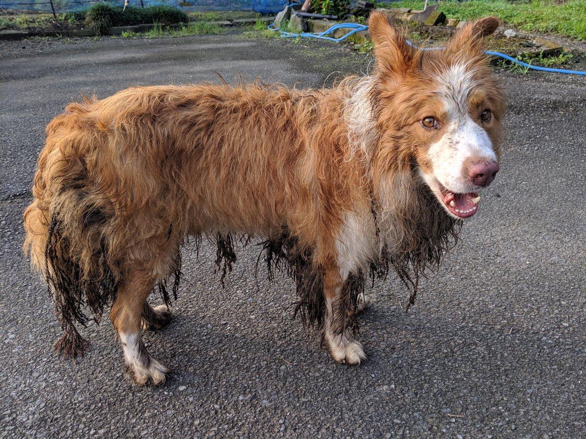 アンニュイーヌウィンダム デスエンカウント マヨイーヌ デスエンカウント草 紀州犬に関連した画像-05