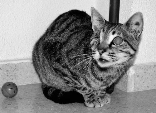 🥰BOB😍 #AdoptMe  https://t.co/KfYx02yK0W  #adoptcats #handicats #handicap #CatsOfTwitter #catsneedhome #cats https://t.co/Her242W21c