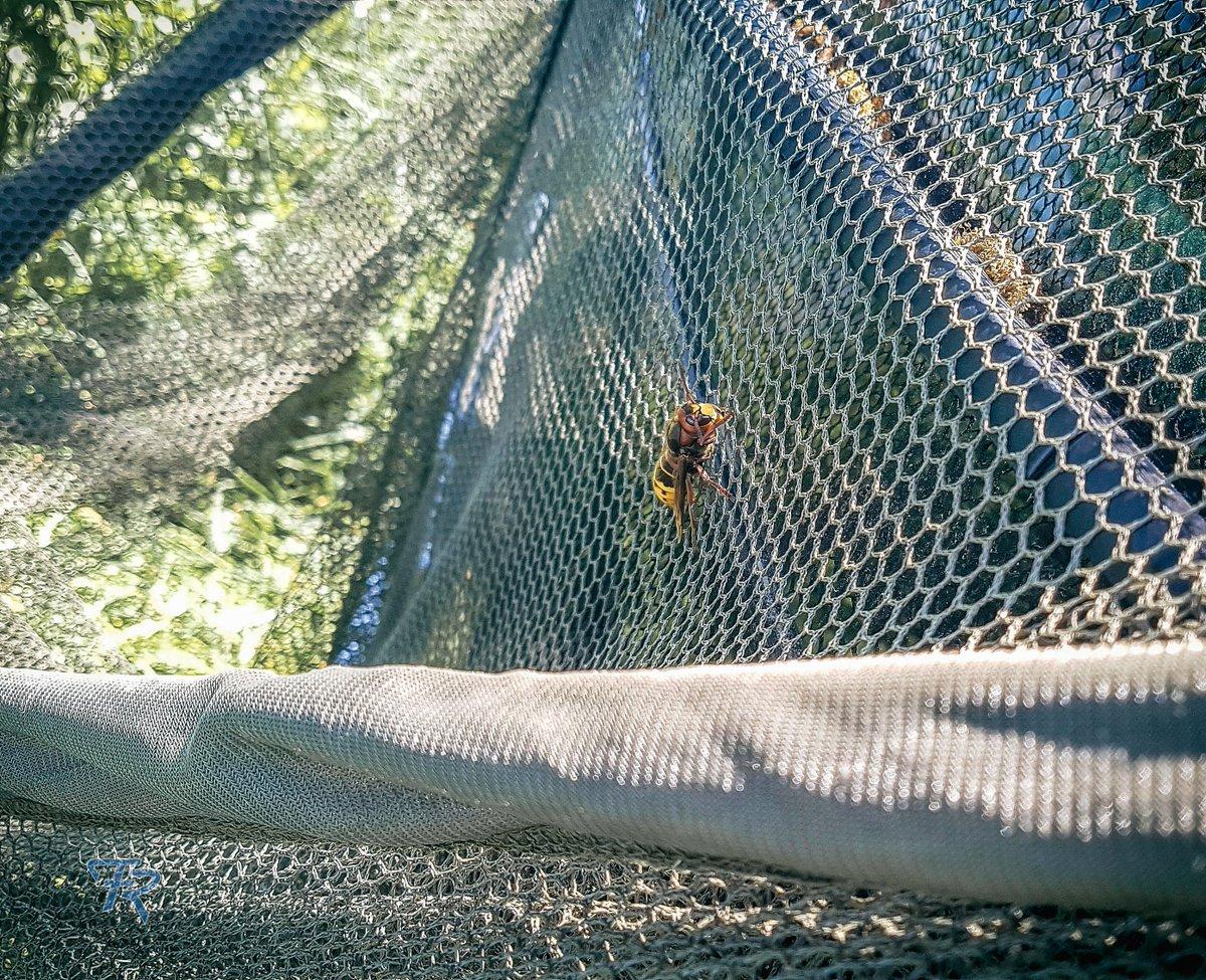 He obviously likes the smell of the landing net. #fishing #carpfishing #landingnet #hornet #SummerVi