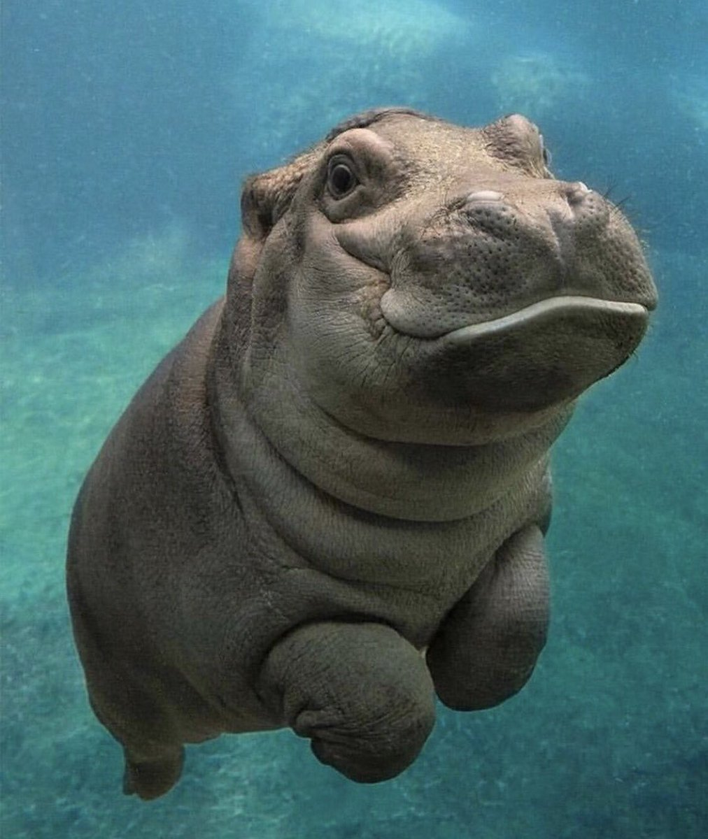 This is what a baby hippo looks like in case you didn't know