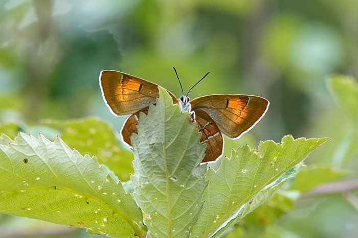 What a gorgeous butterfly! (Alners Gorse NR yesterday.) What fool named it 'Brown Hairstreak'? I hereby campaign to reinstate its much more appropriate old name: Golden Hairstreak. https://t.co/PAcXCvpfVq