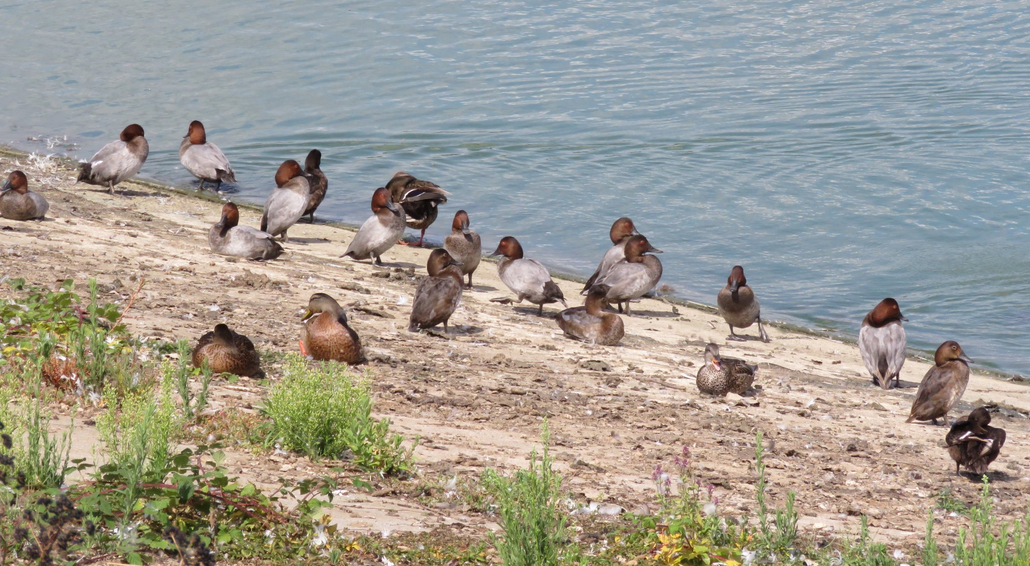 Just shy of a thousand COMMON POCHARD at Abberton today - great to see @birderkettle https://t.co/zmWAGKYGEq