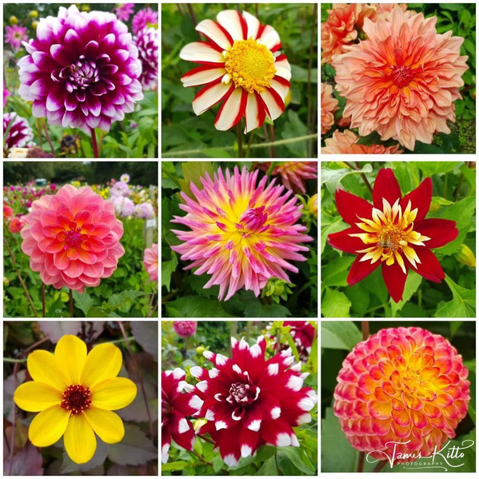 On Sunday, I had the great pleasure of looking around the @NationalDahlia  Collection, just outside of Penzance - such a joyful array of colourful blooms! Well worth a visit!   © James Kitto Photography 2019 Please feel free to 'Like' & 'Retweet'. #dahlias https://t.co/YGP2iI1GlM