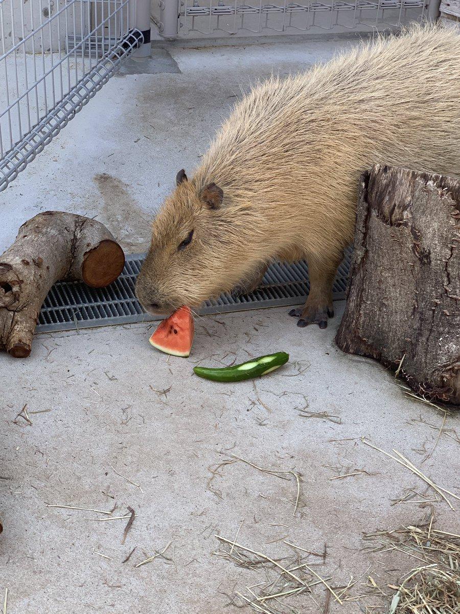 test ツイッターメディア - のんほいパークのカピバラさん達に夏野菜の差し入れイベントが。スイカとキュウリだけどスイカ優先でキュウリはあんまり食べないね https://t.co/rZXqYAKQch