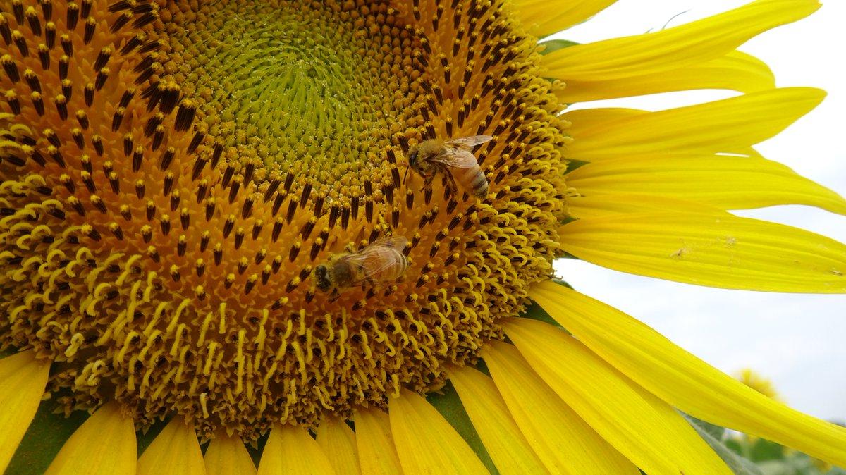 test ツイッターメディア - 清瀬のひまわりが満開ですごく良かった。みんな同じ方向を向いてるから、ひまわりの圧が強い。ミツバチが蜜を集める様子をバッチリ観察できたのも楽しかった。花粉を体に付けて受粉を助けてる事も改めて実感。昆虫すごいぜ! https://t.co/6MPDxXrEta
