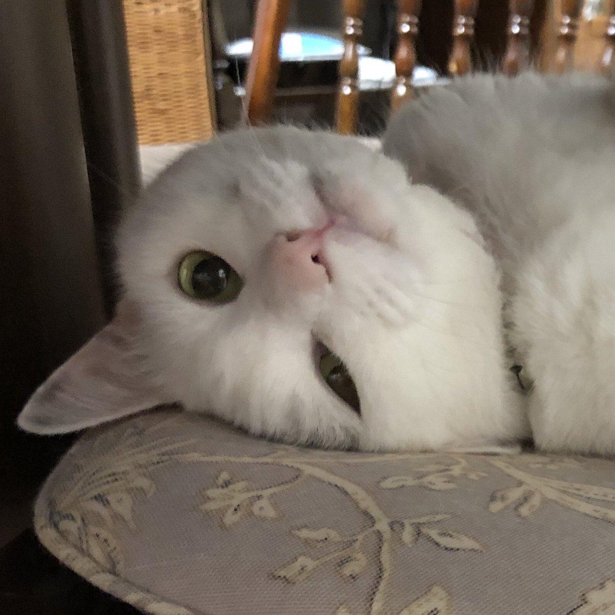 test ツイッターメディア - @hotta_imo 安永餅な感じかな。  いやいや、猫だから! #猫 #猫のいる暮らし https://t.co/KxPHNjLXH8