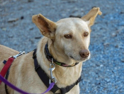 😍🥰 CAMPANILLA   https://t.co/W0LZdRQu1L  #dogsoftwitter #dogsofspain #dogs #AdoptDontShop https://t.co/6yfErOJ0KM