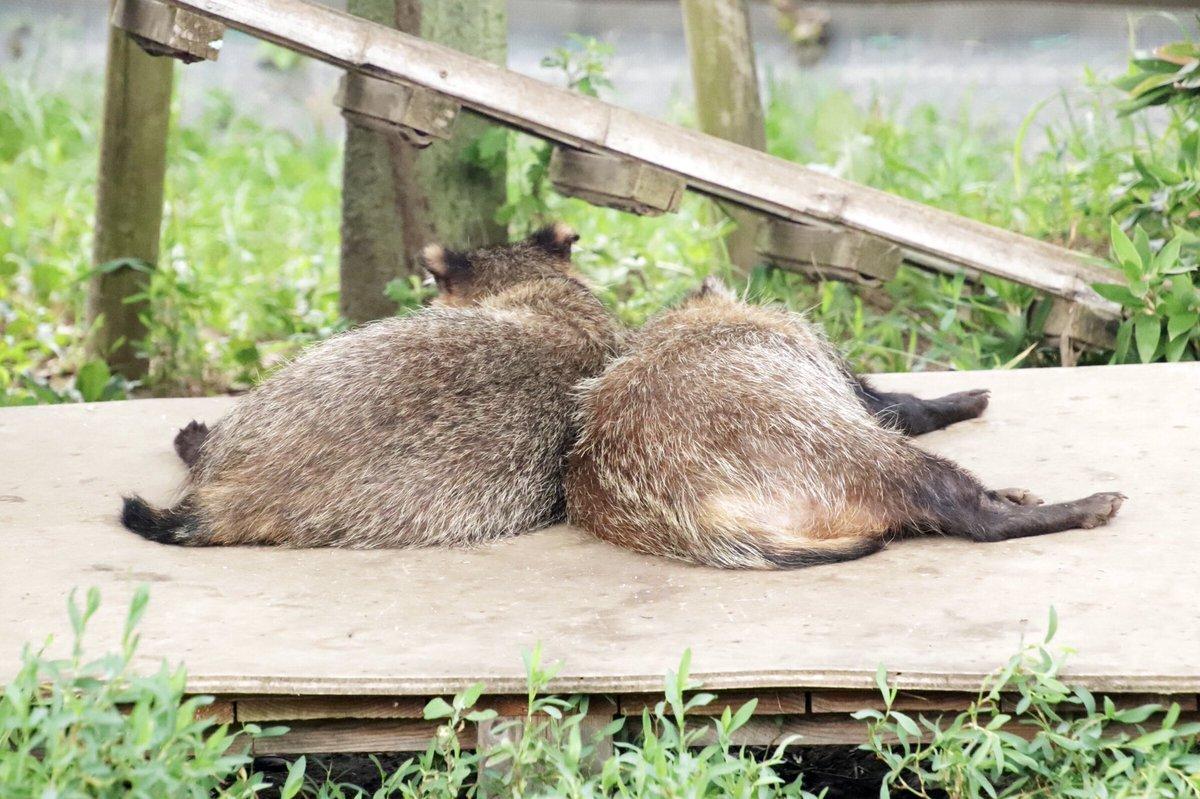 test ツイッターメディア - 今日はもふもふもふようび #東武動物公園 #ホンドタヌキ  #モフ曜日 https://t.co/YVrmfPyMwV