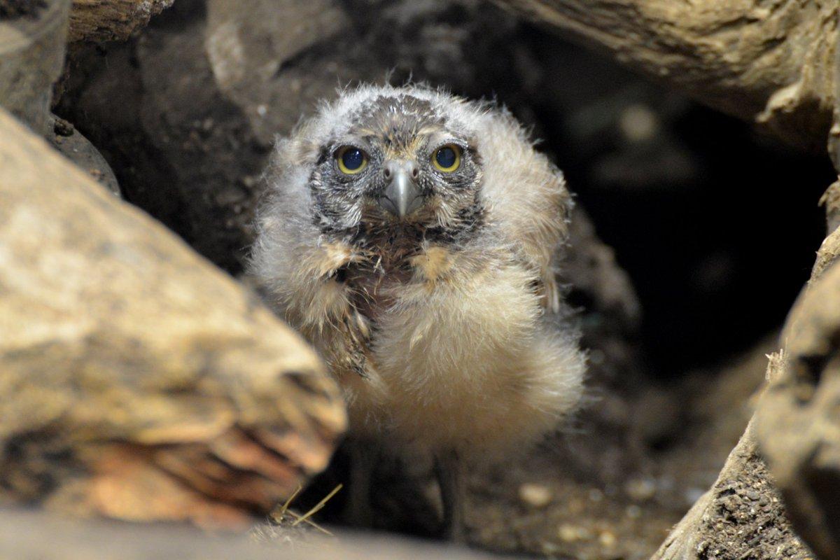 test ツイッターメディア - 『ひょっこりフクロウです♪』  #アナホリフクロウ の3兄弟が8/5に誕生!  まだ一日のほとんどを巣穴の中で暮らしていますが、時々ひょこっと顔を見せてくれるようになりました😀  ニフレルでは初めての誕生です。  生まれてきてくれてありがとう!  #ニフレル #猛禽類ラブ #フクロウ https://t.co/JjTuZieQ5a