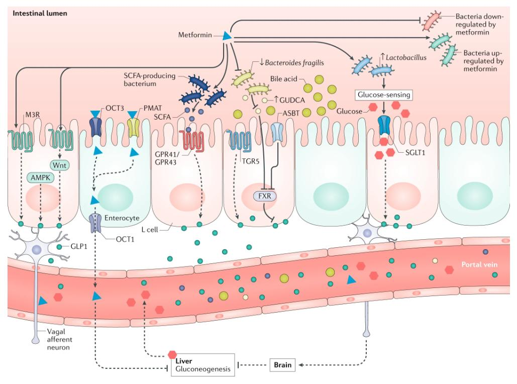 test Twitter Media - Looking for some #WeekendReading? Check out our latest review on understanding the glucoregulatory mechanisms of #metformin in type 2 #diabetes mellitus (£) https://t.co/pir1FTX84M https://t.co/U9hrUXMhb0