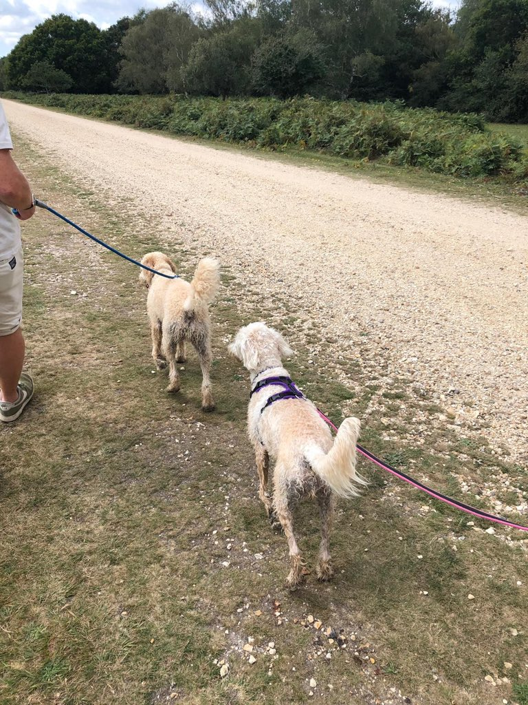 test Twitter Media - What a fabulous day Daisy had with her brother Burton running around the New Forest.@willowsvets https://t.co/bsnQUKE2QD