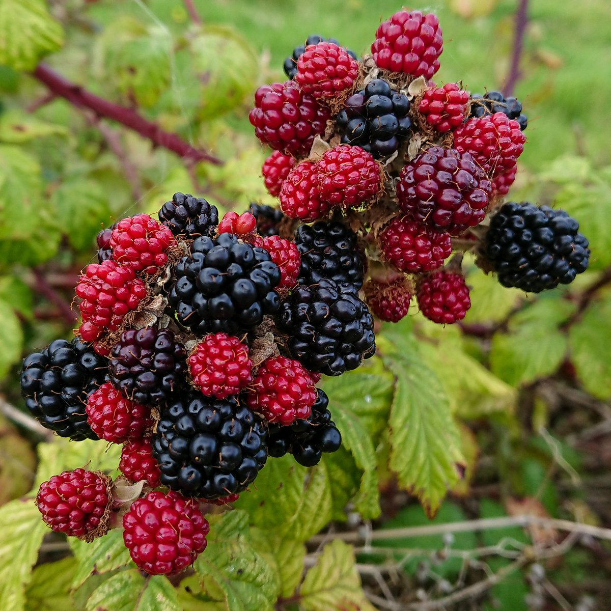 test Twitter Media - Blackberries in the hedgerows and leaves starting to curl at the edges must mean only one thing - Autumn is coming. Nature's colour palette. #Plymouth #Ivybridge #Autumn #Blackberries https://t.co/GTH4jRsKfQ