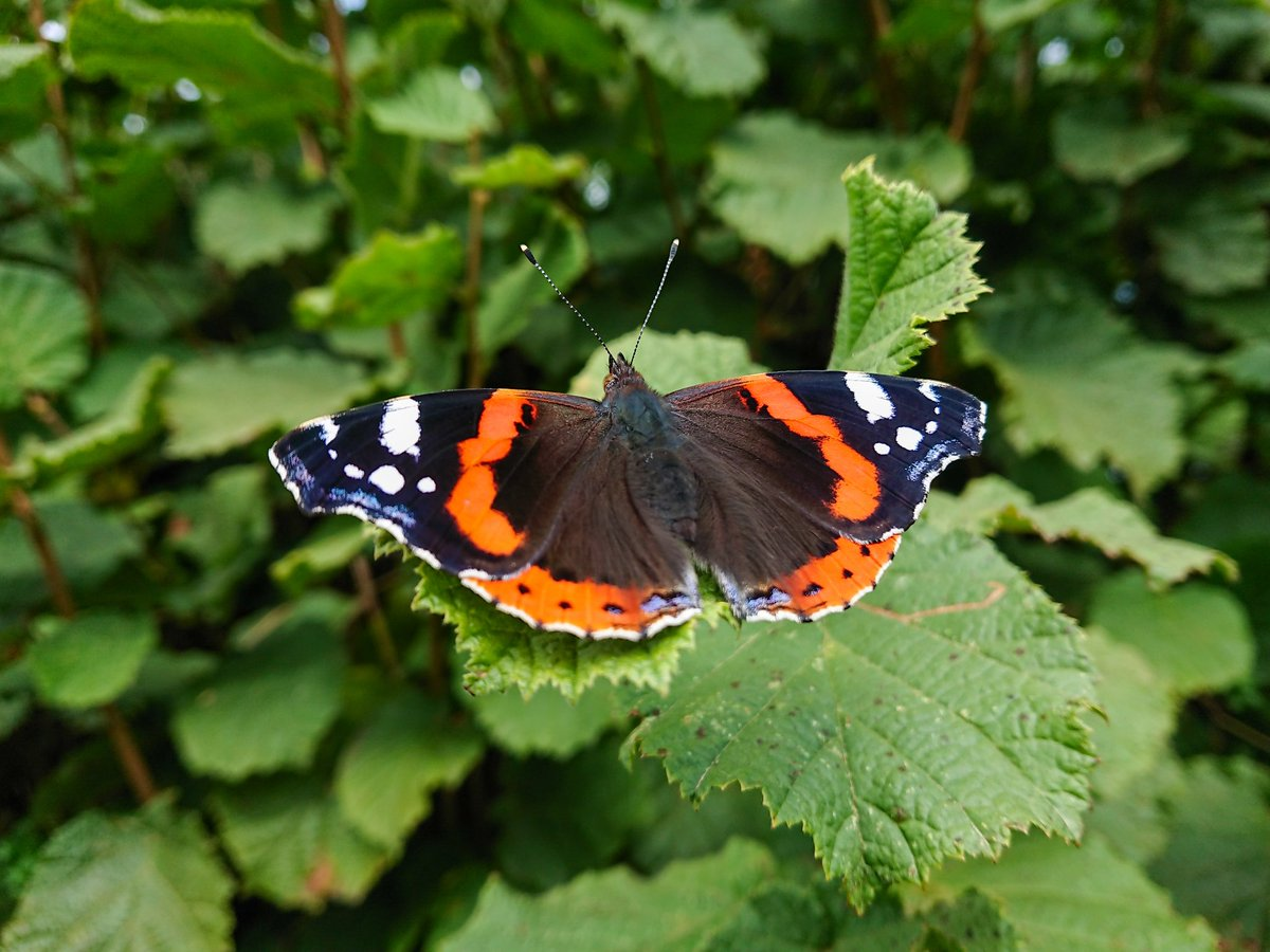 test Twitter Media - A Red Admiral Butterfly makes the most of the September sunshine. The country lanes are awash with butterflies at the moment, which is nice to see. #Butterfly #Photography #Wildlife #Countryside https://t.co/uyTlDn2cQV