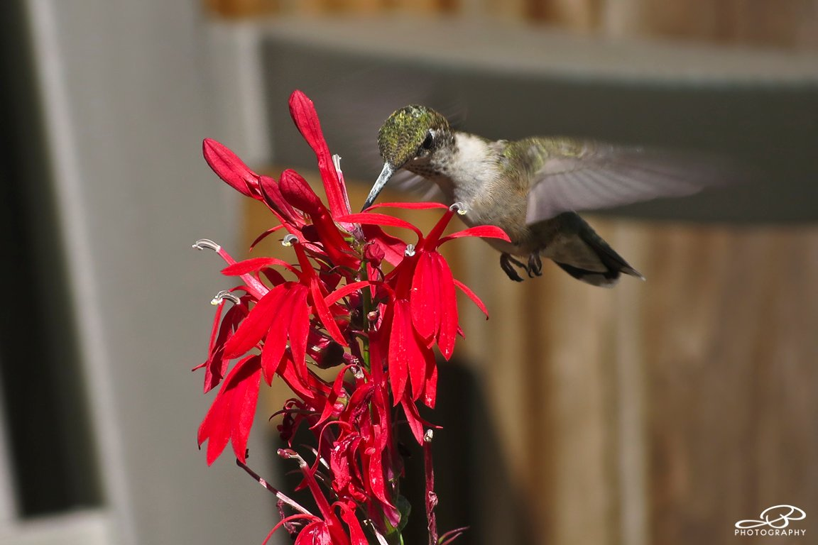 Cardinal Flower. #PlantNativePlants https://t.co/ESS4wDLRjW