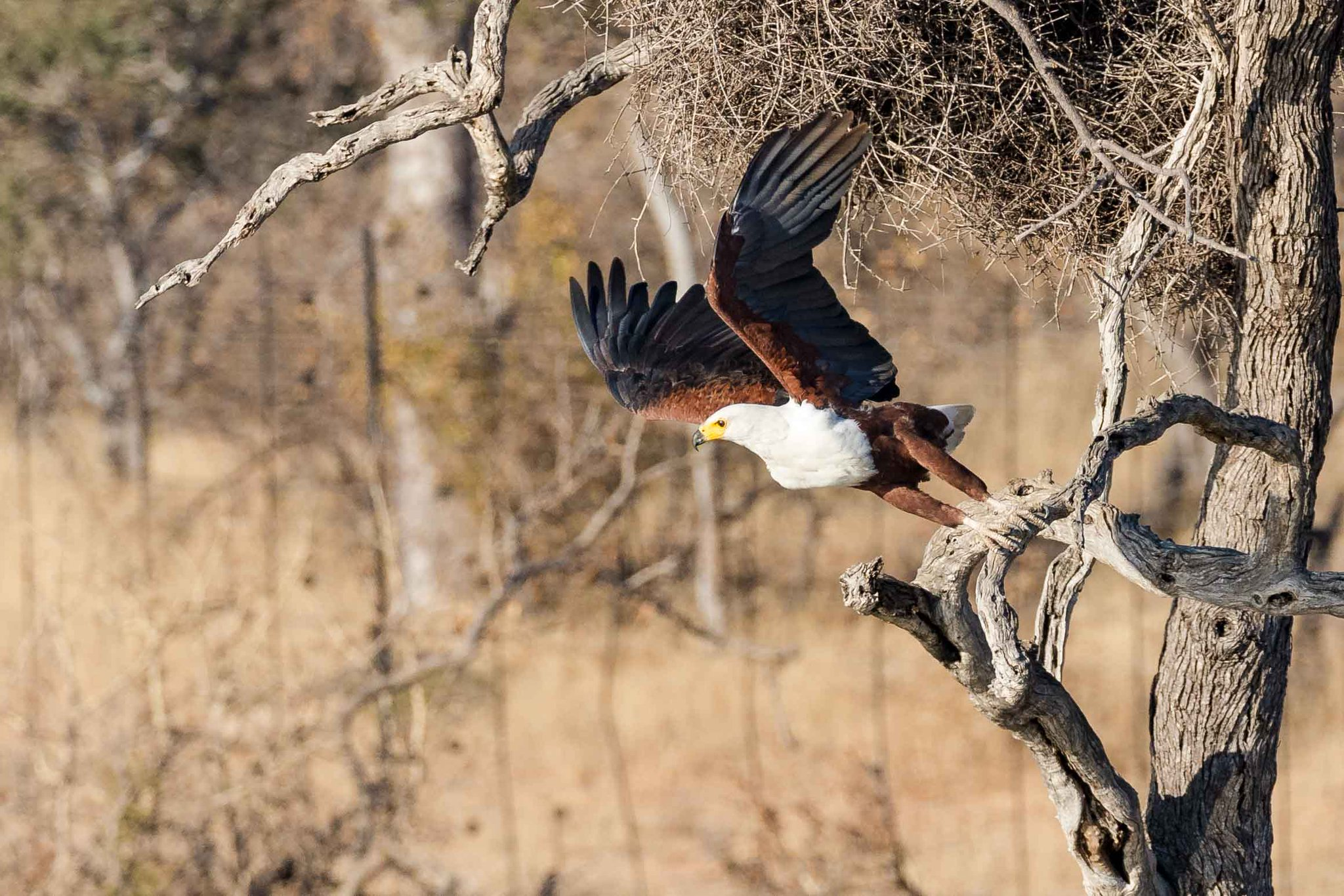 A magnificent African fish eagle launches itself from a branch at @SausageTreeCamp in the Balule Private Nature Reserve. 📸 Matthew Sussens https://t.co/b18YHbm3bq