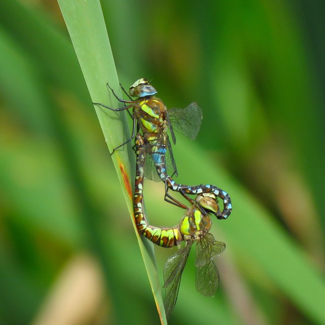 test Twitter Media - Four dragonfly species on the wing at #NoddleHillNR #Hull: Ruddy Darter, Southern Hawker, Common Darter with 3 mating pairs and at least 4 pairs of Migrant Hawkers mating on SW corner of the lake and Foredyke Stream #Hulldragons @BDSYorkshire https://t.co/wNGHLYR9tc