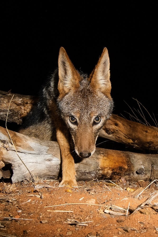 Black-backed jackals live in pairs but usually scavenge and hunt alone, mostly at night. Via @Tswalu  📸 Mark Winckler https://t.co/VZvAtJ7YfR
