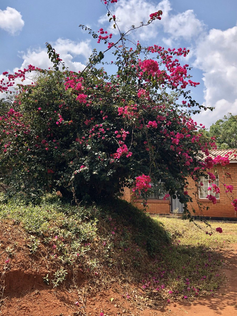 test Twitter Media - Just some of the #plants #botany about campus 🥰 personally I love the purple & red tree flowers 💜❤️ life's not always go go go 😉 #stopandsmelltheflowers @carleton_qes #QEScholar checks out @mzuni1 🇲🇼 on the holiday 🤗 btw #happymothersday 💕 https://t.co/WDaD7mNNZc