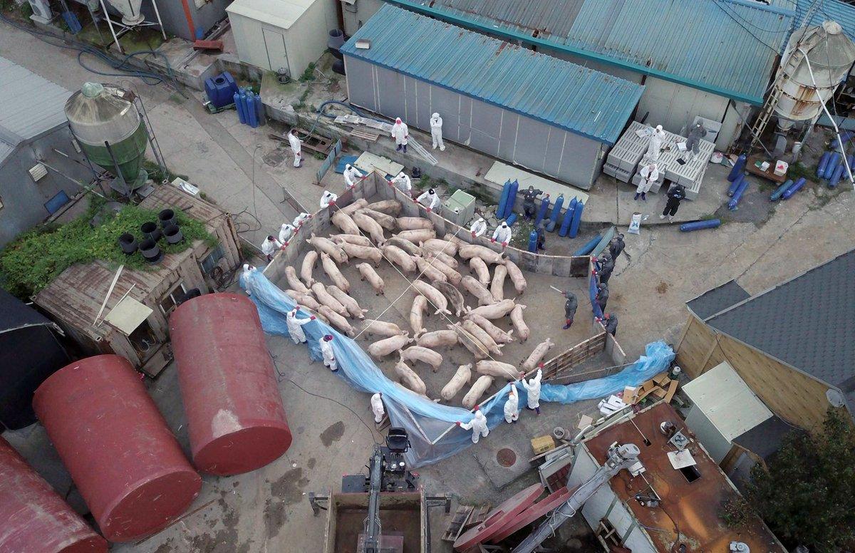 test ツイッターメディア - 東アジアに広がるアフリカ豚コレラ。北朝鮮は5月に1件の発生を報告しただけだが、感染拡大を隠しているのではとの懸念を強めている。 https://t.co/FVE9DZu5il https://t.co/4yQj9zHwYQ