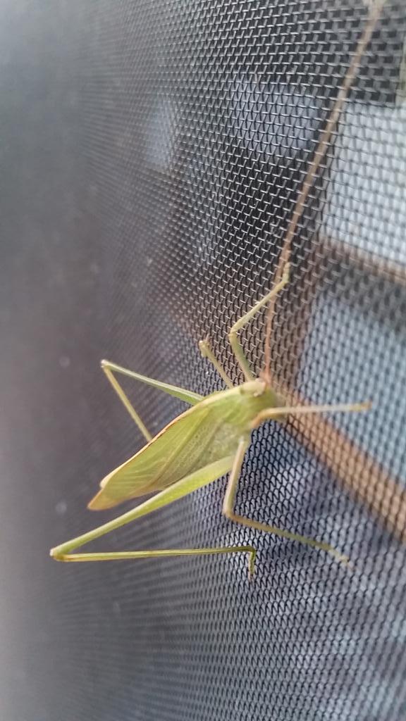test ツイッターメディア - 「香川照之の昆虫すごいぜ!」を見ました。詳しく分かりませんが、これはツユムシでしょうか? https://t.co/HQaX00KBZl