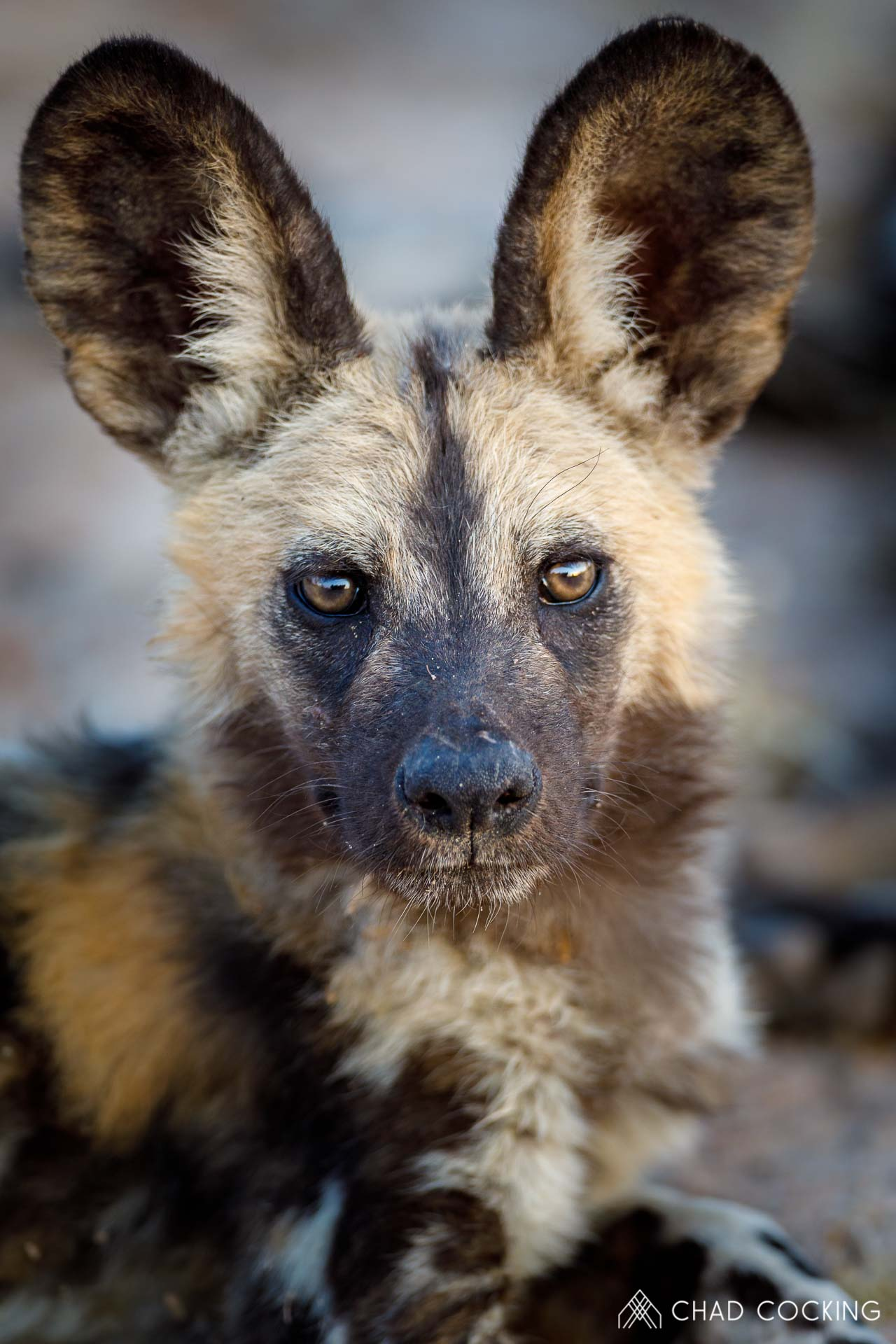 What big ears you have! This painted wolf (African wild dog) has got some of the sharpest hearing in the bush thanks to those enormous (but gorgeous) ears! Via @TandaTula  📸 Chad Cocking https://t.co/LMQegckh7R