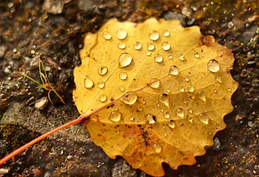 #Pearls of rain on yellowed leaf Mirror of Love We've embraced in spring when flower seeds came to feed deep desires Autumn melancholy reaching its peak Encounters echoes dipping pen in drops of Moon caught by stubborn leaf left by my Tree in rainy colloquy with Your sky. #vss365 https://t.co/8MML3Q9KtF