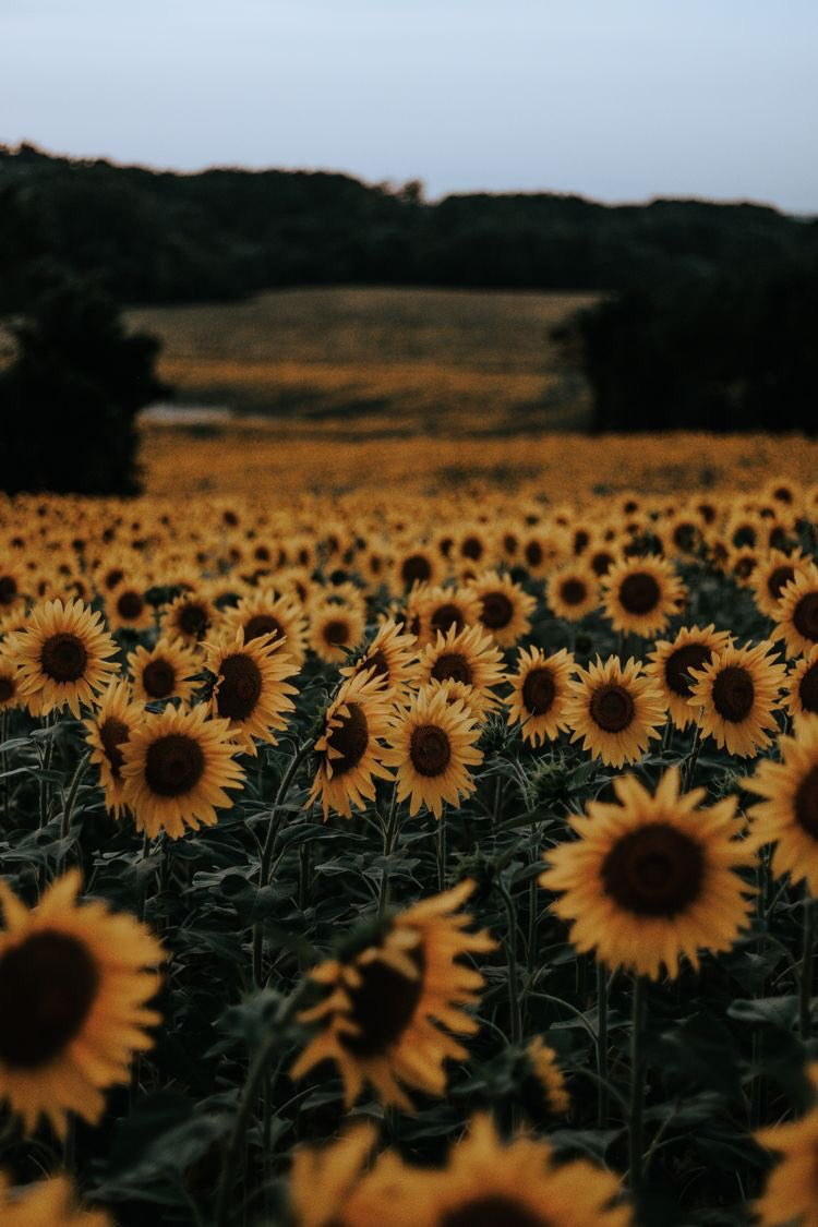 I just found out that sunflowers usually face the sun but when they cannot find it they face each other and idk it made me smile a lot