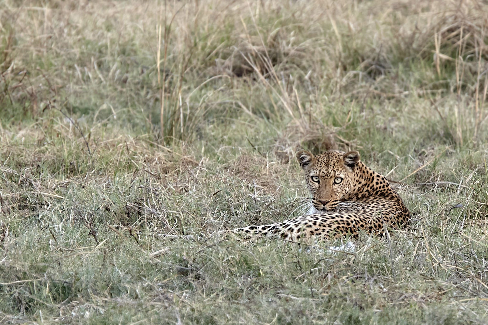 Who are you looking at? A young leopard dishes out an accusatory stare. Via Konkamoya Lodge  📸 Andrea Porro https://t.co/CnAWOBqb07