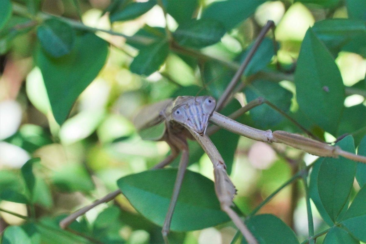 test ツイッターメディア - おはようございます!金曜日もう一日頑張るぞ~! 今日の写真はカマキリです。じっとしててくれるので見つけさえすれば撮りやすい昆虫ですね。どこから撮ってもカメラ目線になってくれます。カマキリすごいぜ! https://t.co/RUiDEFApDz