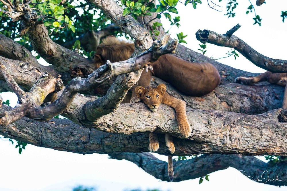 While their agility may not be on a par with leopards, the tree-climbing lions of Ishasha in Uganda don't seem to be giving up on this unusual behaviour. Via @JourneysDAfrica  📸 Patrick Shah https://t.co/ljl3Y0jTil