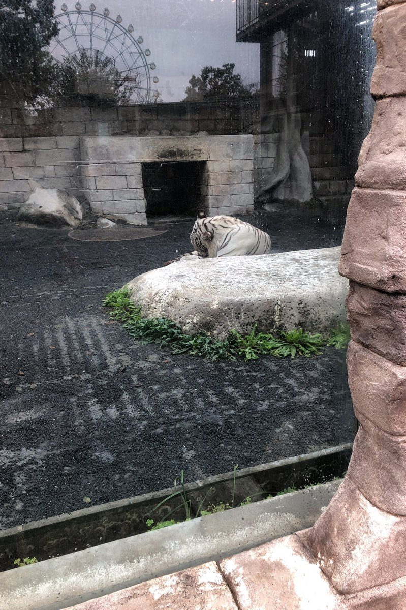 test ツイッターメディア - 昨日はフォロワーさんと東武動物公園へ🐯💕 ホワイトタイガーはおとなしくて可愛いかった😍💕 台風のあとだからなのか❓凄いすいてて、動物達が近くてちょっと怖いくらいだったw たいちゃんの千円ガチャもやれて楽しかった💖 https://t.co/L0Z1O9XFVu