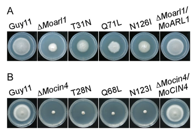 test Twitter Media - Interactions between MoArf1 and MoArl1 with MoGga1 are important for Golgi localization and pathogenicity of the rice blast fungus M. oryzae @mbiojournal https://t.co/6QlAXIgAbJ https://t.co/WhRYQCYWy1