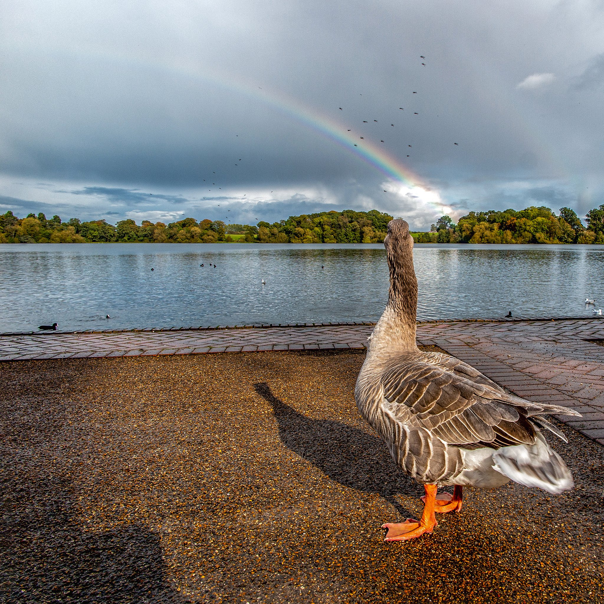 Rainbow Watching by The Mere  #ellesmere @VisitELLESMERE #mere #geese #rainbow https://t.co/TqLhUu4r0D