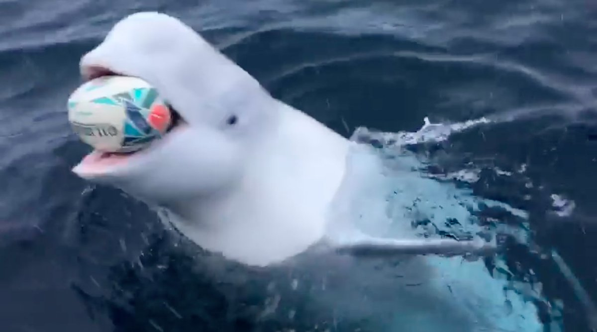 Watch this adorable beluga whale play fetch with a football near the South Pole