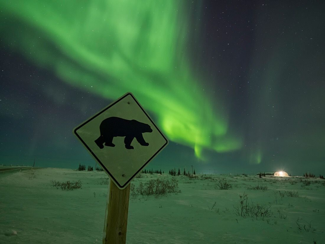 The remote polar bear town rapidly losing its famous residents