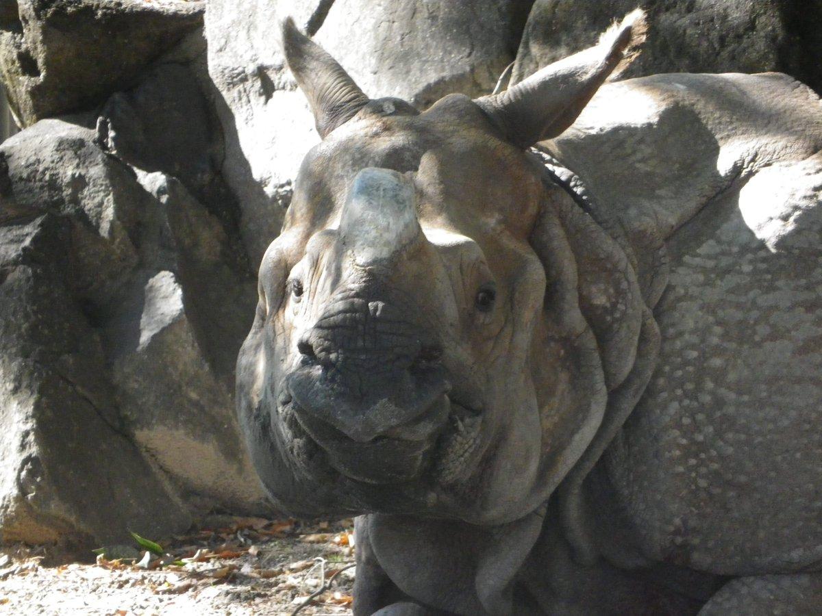 test ツイッターメディア - Today is #SinglesDay 東山動植物園にいるインドサイのセラ(15歳 オス)。 セラにも早くパートナー相手、欲しいね。 https://t.co/s5swO378b8