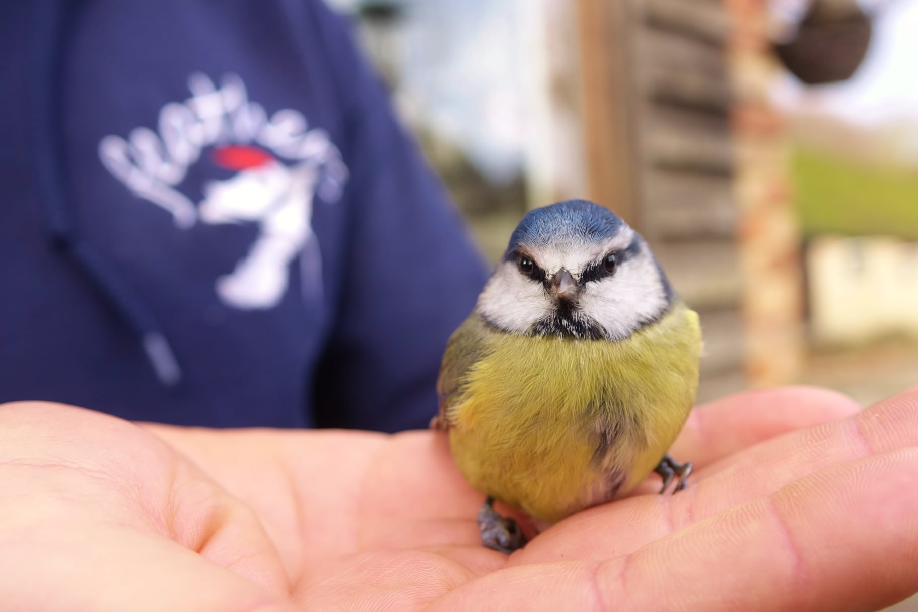 A happy ending for this beautiful blue tit who bumped in to the shop window. A few minutes respite before it perked up and took off. https://t.co/tgzad4iQzs