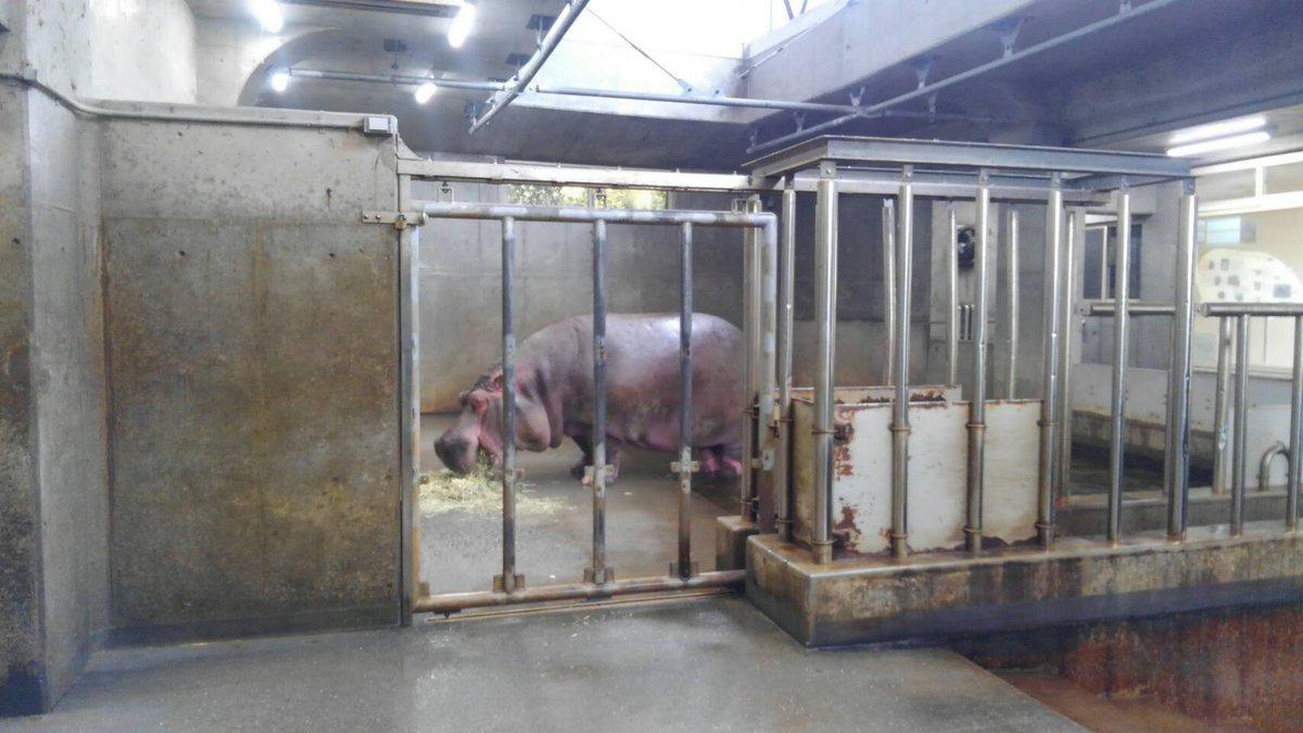 test ツイッターメディア - 先日シンポジウムに参加するため神戸へ行っていた坂東園長。 神戸市王子動物園にいる、旭山出身の2頭の写真を撮ってきてくれました!  チンパンジーのリノ(キーボの長女)とカバのナミコ(ゴンとザブコの最後の子)です。  懐かしい顔に会うのも、他園へお邪魔する際の楽しみのひとつです。 https://t.co/t1eFip7iTf